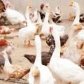 Aves: medicina y produccion